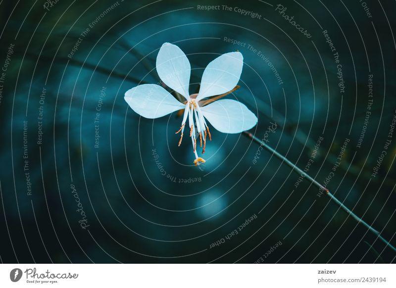 Makro der weißen Blume der Gaura mit vier Blütenblättern schön Sommer Garten Umwelt Natur Pflanze Frühling Blatt Grünpflanze Wildpflanze Park Wiese Feld Wald