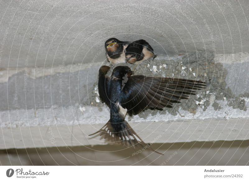 Schwalbenfütterung Natur Tier Bewegung Vogel füttern Schwalben