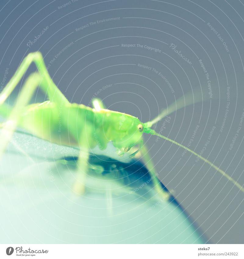 grasgrün 1 Tier Heuschrecke grell Fühler Insekt neonfarbig Farbfoto Makroaufnahme Menschenleer Textfreiraum oben Schwache Tiefenschärfe Blick in die Kamera