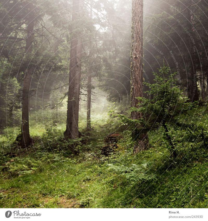 Wanderung Umwelt Natur Landschaft Sommer Klima Wetter Schönes Wetter Nebel Pflanze Baum Gras Sträucher Moos Tanne Wald Hügel Berge u. Gebirge Stimmung Dunst