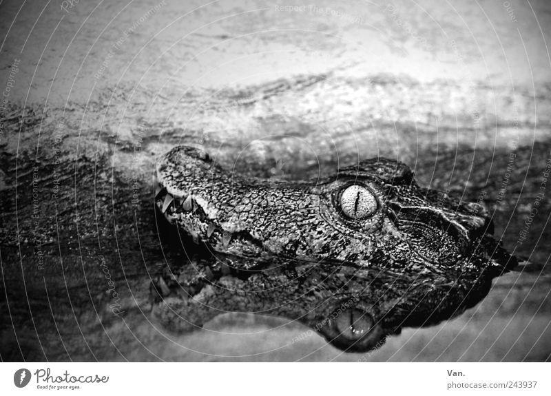 Krokofant Natur Tier Wasser Wildtier Tiergesicht Zoo Krokodil Alligator Reptil 1 beobachten liegen exotisch nass schwarz weiß Reflexion & Spiegelung Auge Gebiss
