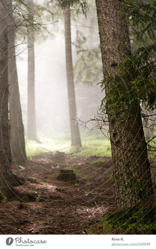 Wanderung II Natur Landschaft Erde Sommer Schönes Wetter Baum Wald leuchten hell Stimmung Tanne Waldboden Nebel feucht Dunst Farbfoto Gedeckte Farben Licht