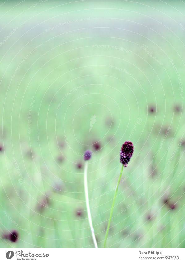 one dot, two dots lot of dots Natur grün Pflanze Sommer Blume ruhig Erholung Wiese Umwelt Landschaft Gras Blüte klein Wachstum zart violett
