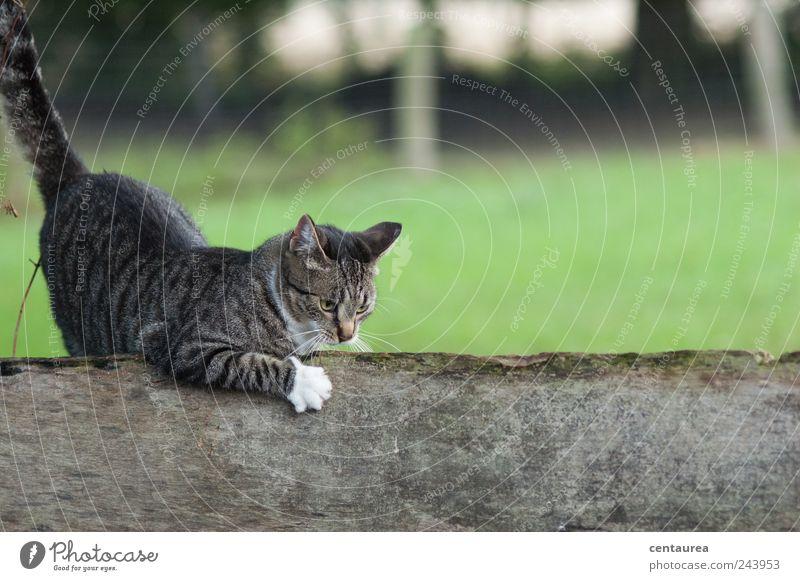 Kratzekatze Haustier Katze Fell Krallen 1 Tier berühren Jagd niedlich rebellisch verrückt braun grau grün schwarz weiß Freude Glück Lebensfreude Neugier