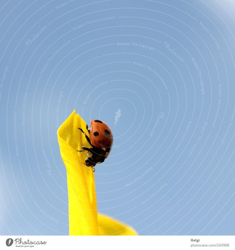 Spitzenreiter Natur Pflanze Himmel Wolkenloser Himmel Sommer Schönes Wetter Blume Blüte Sonnenblume Blütenblatt Tier Wildtier Käfer Marienkäfer 1 Blühend