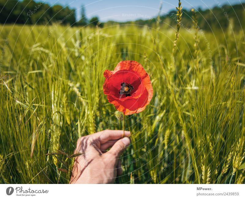 mohnblume im kornfeld Hand Umwelt Natur Landschaft Pflanze Tier Schönes Wetter Blume Blüte Nutzpflanze Feld schön Mohn Mohnblüte stoppen Landwirtschaft rot