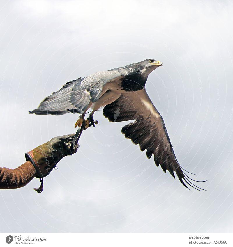 könig der lüfte Mensch Himmel Mann Natur Hand Sommer Wolken Tier Erwachsene Freiheit Vogel elegant fliegen Wildtier ästhetisch Luftverkehr