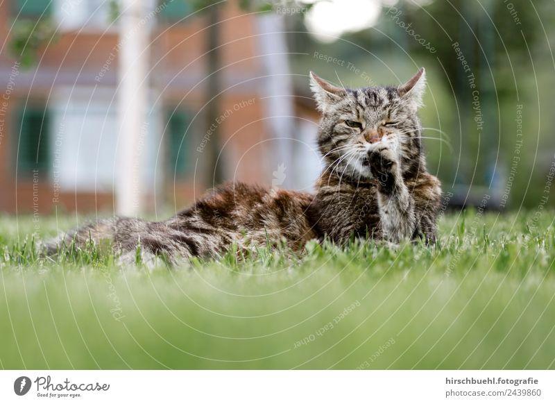Katze Leo Sommer Tier Freude Gesundheit Gras Garten Freiheit träumen Schönes Wetter harmonisch rein Haustier Stolz erleben Überleben