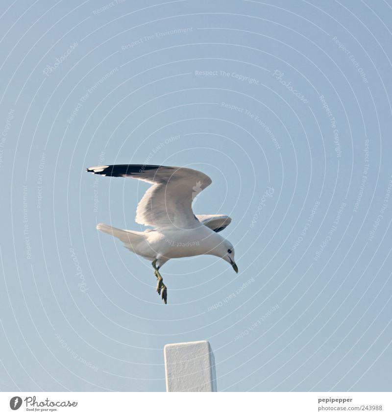 punktlandung Ferne Freiheit Sommer Luft Himmel Wolkenloser Himmel Schönes Wetter Küste Hafenstadt Tier Wildtier Vogel Flügel Krallen 1 fliegen blau weiß Möwe