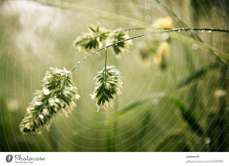 Tapfer am Morgen Natur grün Pflanze Sommer Wiese Gras Traurigkeit Feld Tau anstrengen beweglich Ehrlichkeit Tapferkeit Wildpflanze