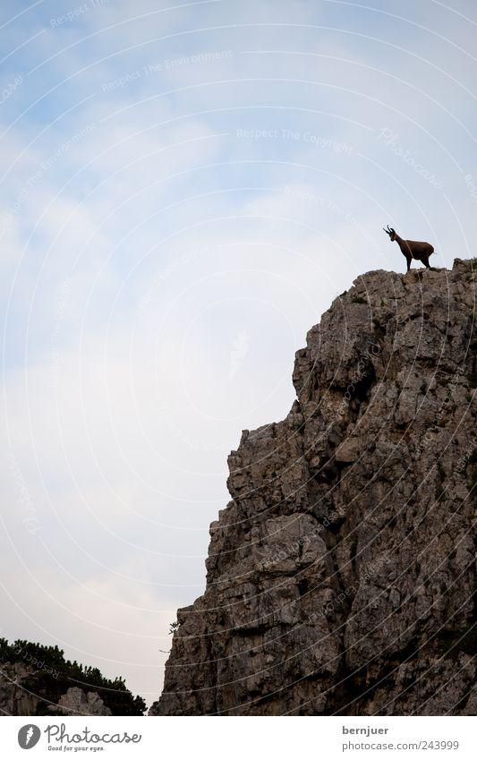 King of the hill Natur Himmel blau Sommer Wolken Tier Berge u. Gebirge Landschaft braun Kraft Felsen Macht Klettern Alpen festhalten