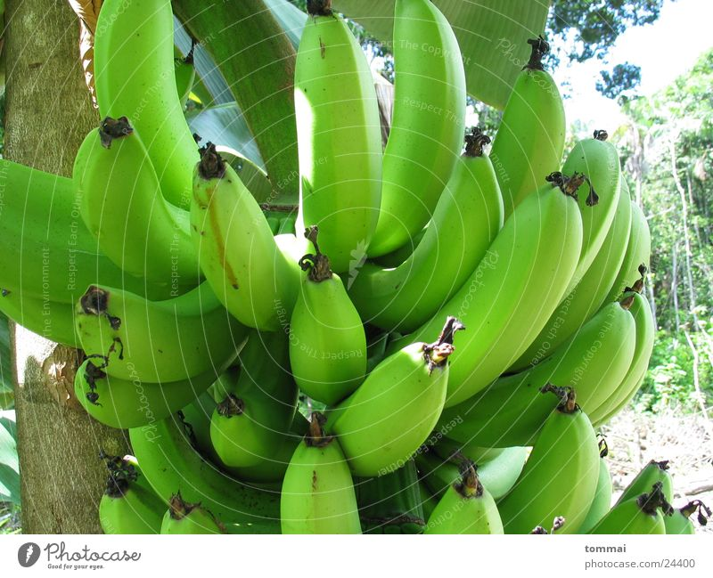 banane grün Ernährung Sträucher reif Brasilien Banane