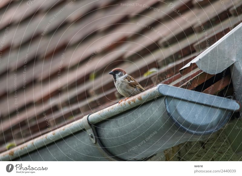 A sparrow sits on a gutter Natur Tier Wildtier Vogel 1 Liebe Sparrow Sparrow couple animal bird copy space feather fence fence post fly nobody old