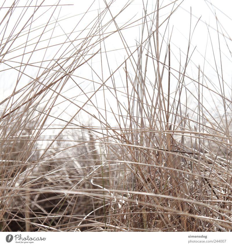 kreuz und quer Natur Pflanze Sommer Dürre Gras Sträucher Wildpflanze Küste Strand berühren dünn elegant natürlich trist trocken Energie Gefühle Genauigkeit