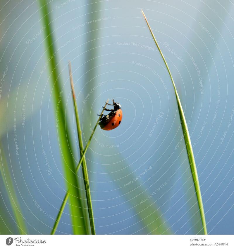 I feel so High! ruhig Umwelt Natur Himmel Wolkenloser Himmel Frühling Sommer Gras Sträucher Blatt Garten Park Wiese Tier Käfer 1 krabbeln blau grün Erfolg Kraft