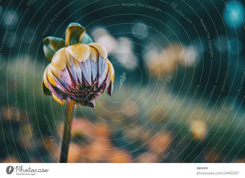 Nahaufnahme der Blüte des Helipterum roseum schön Sommer Garten Umwelt Natur Pflanze Frühling Blume Blatt Park Papier natürlich wild gelb grün rosa weiß Farbe