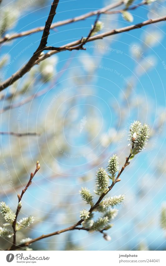 junge Knospen Himmel Natur Baum Pflanze Wiese Umwelt Garten Frühling Park Zufriedenheit natürlich Beginn frisch Fröhlichkeit Sträucher Ast