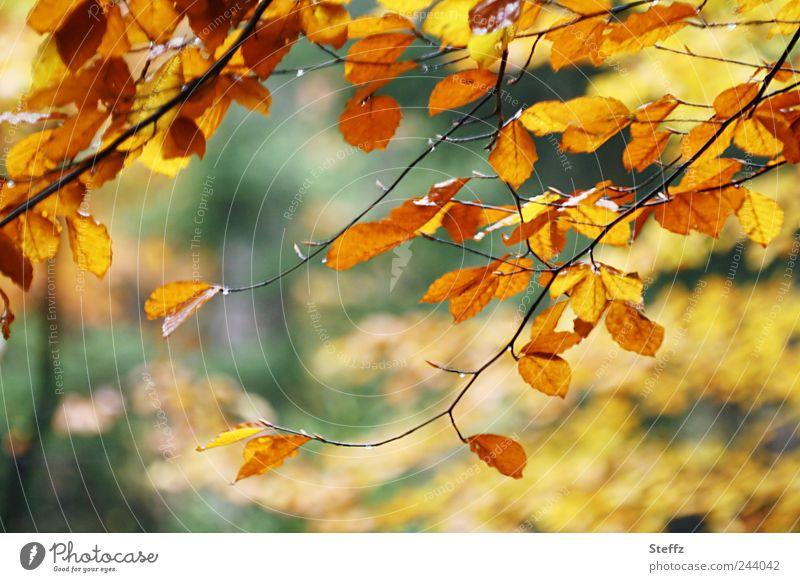 Herbst-Impression Natur Pflanze Baum Blatt Buchenblatt Zweig Ast Herbstlaub Wald Herbstwald Herbstlandschaft schön gelb grün Herbstgefühle Waldstimmung Oktober