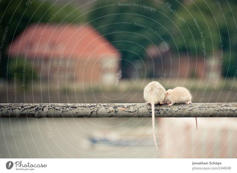 Rattengeflüster Tier lustig dreckig wild sitzen Tierpaar verrückt niedlich planen Haustier Maus gerade Punk Schwanz Pfosten Städtereise