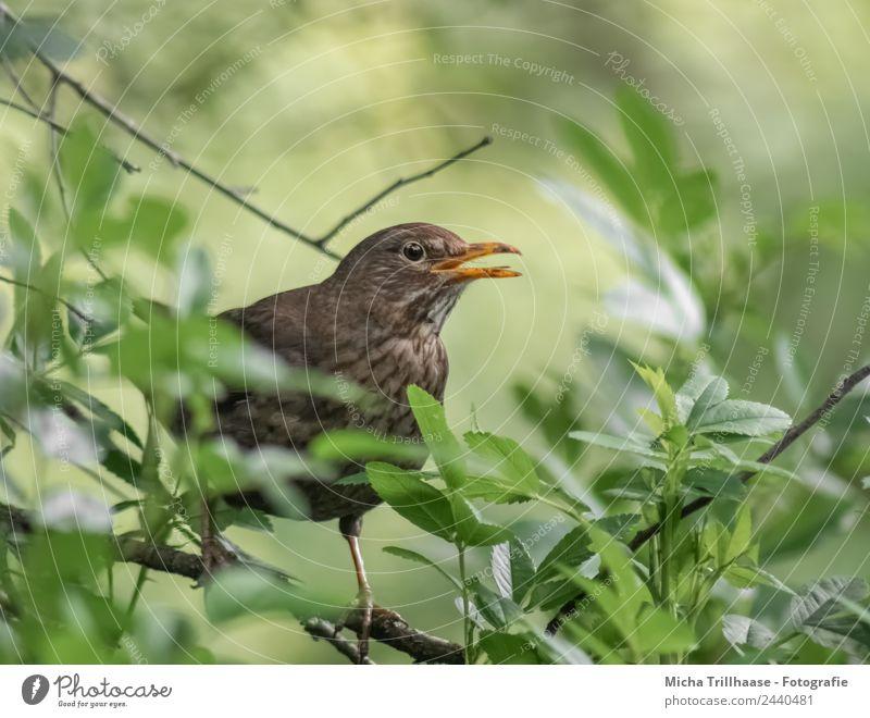 Singender Vogel Natur grün Sonne Baum Tier Blatt gelb Umwelt sprechen orange braun leuchten Wildtier Kommunizieren Feder
