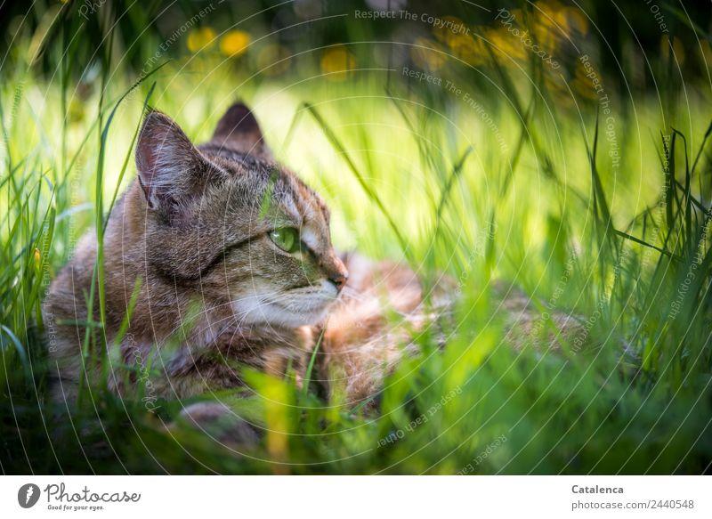Ein schattiger Ruheort Natur Pflanze Tier Sommer Blume Gras Blatt Blüte Sumpf-Dotterblumen Wiese Katze 1 beobachten genießen liegen schön braun gelb grün