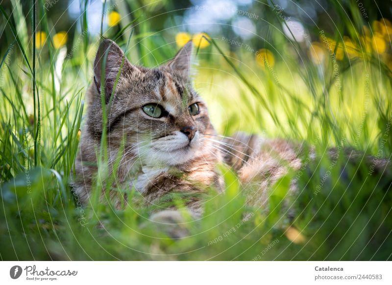 Im hohen Gras liegen Natur Pflanze Tier Sommer Schönes Wetter Blume Blatt Blüte Sumpf-Dotterblumen Garten Haustier Katze 1 beobachten schön braun gelb grün