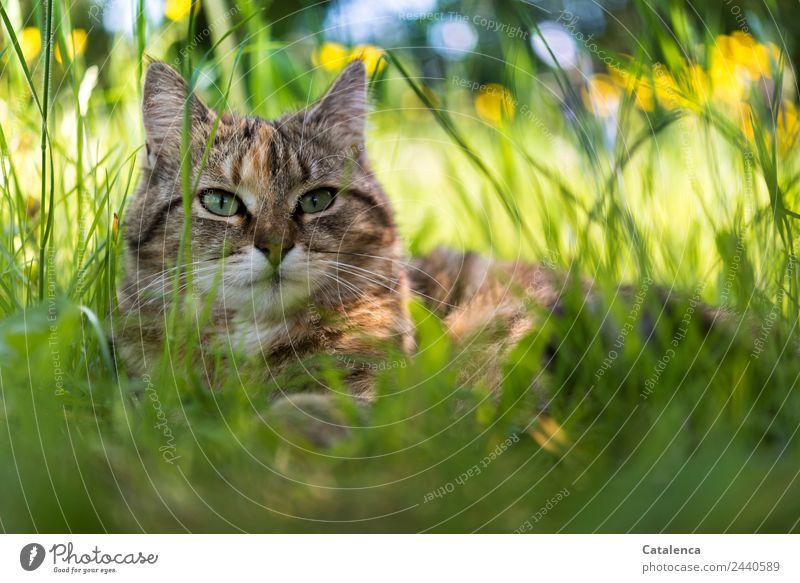 Eine kleine Katze im hohem Gras Natur Pflanze Tier Himmel Sommer Schönes Wetter Blume Blatt Blüte Wildpflanze Sumpf-Dotterblumen Wiese Feld 1 beobachten liegen