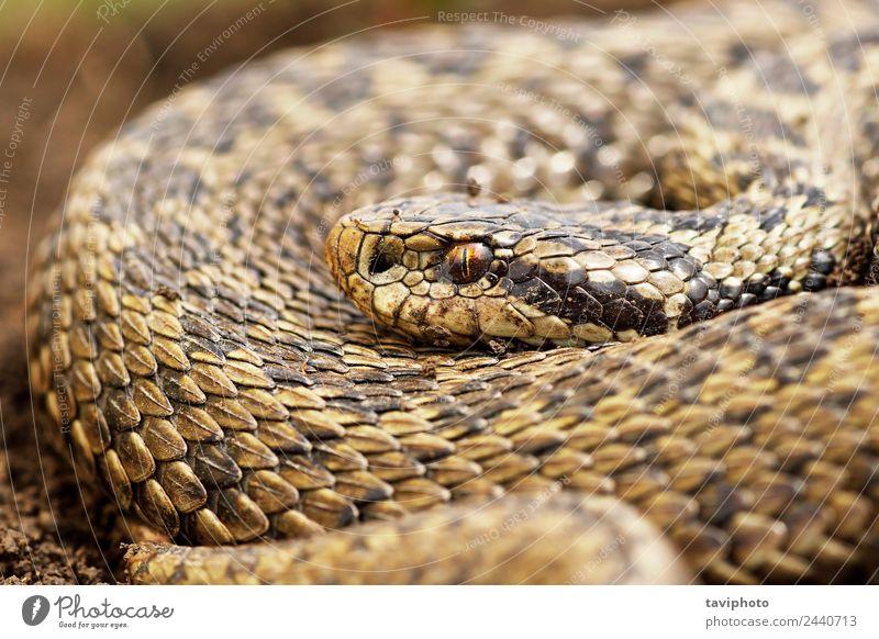 Nahaufnahme der weiblichen Orsinii-Viper schön Frau Erwachsene Natur Tier Wiese Schlange wild braun gefährlich Farbe Vipera Natter ader orsinii Rakkosiensis