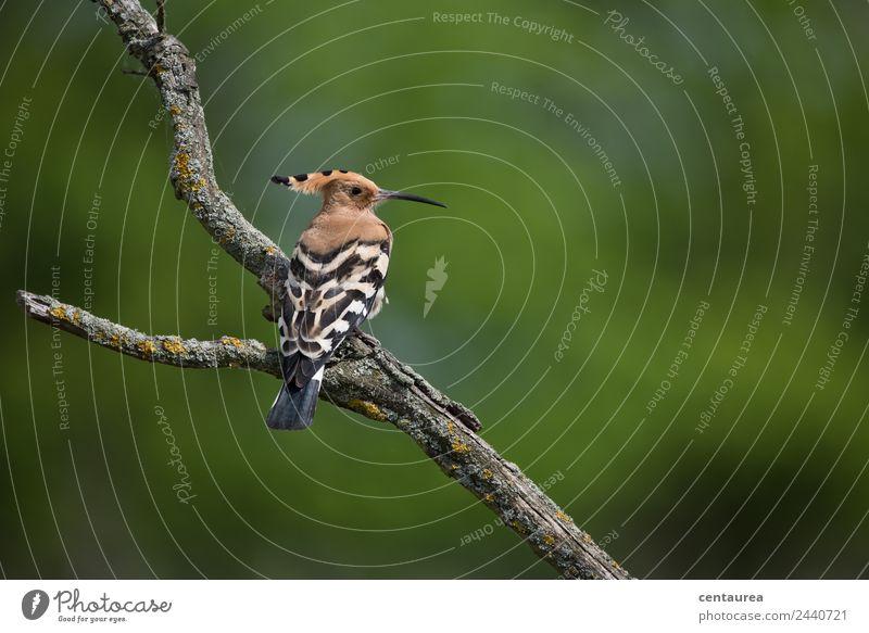 Der Wiedehopf Natur Tier Frühling Sommer Heide Wildtier Vogel Flügel Krallen 1 sitzen außergewöhnlich braun grün schwarz weiß Farbfoto Außenaufnahme