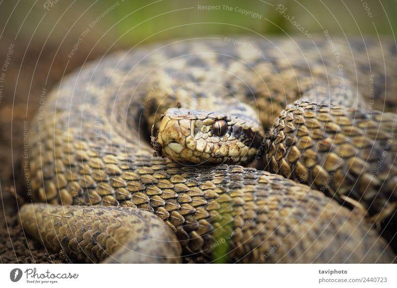 Nahaufnahme von Vipera ursinii rakosiensis schön Natur Tier Wiese Schlange wild braun Angst gefährlich giftig Europäer Rakkosiensis Natter Tierwelt Ottern Gift