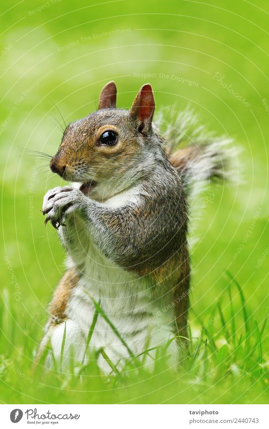 graues Eichhörnchen frisst Nuss auf dem Rasen Essen Garten Natur Tier Gras Park Wald Pelzmantel füttern sitzen stehen klein natürlich niedlich wild braun grün
