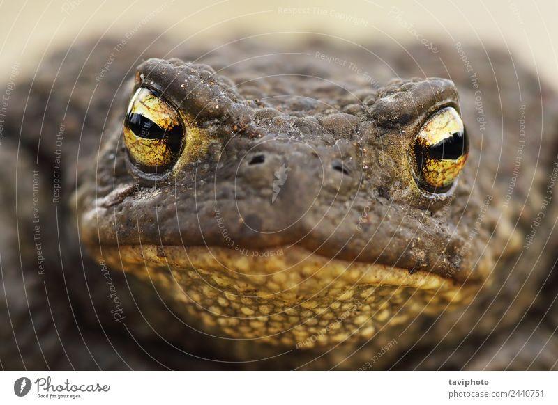 Makroaufnahme des Bufo Bufokopfes schön Haut Gesicht Erwachsene Natur Tier natürlich niedlich schleimig wild braun grau allgemein Unke Frosch Amphibie Kopf