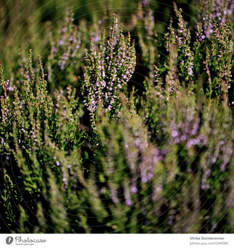 Schwarzwälder Erika Natur Pflanze Sonnenlicht Sommer Schönes Wetter Sträucher Blatt Blüte Wildpflanze Bergheide Heidekrautgewächse atmen Blühend stehen Wachstum