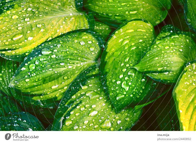 grüne Frische Umwelt Natur Pflanze Wasser Wassertropfen Frühling Sommer Blatt Grünpflanze exotisch Garten Park Wiese Urwald frisch nass saftig gelb Erholung