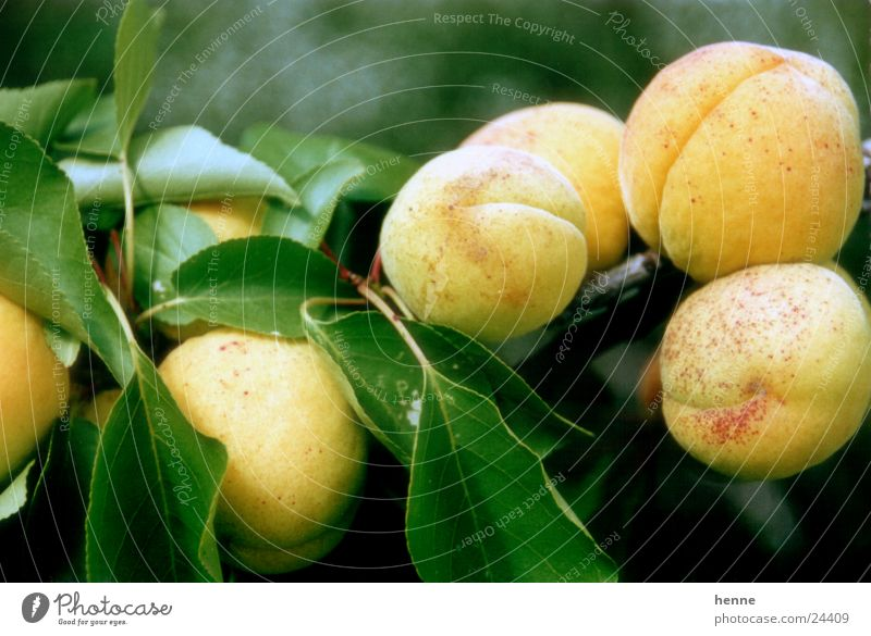 Aprikosenzweig Blatt Makroaufnahme Frucht Zweig Ast Graffiti Sonne
