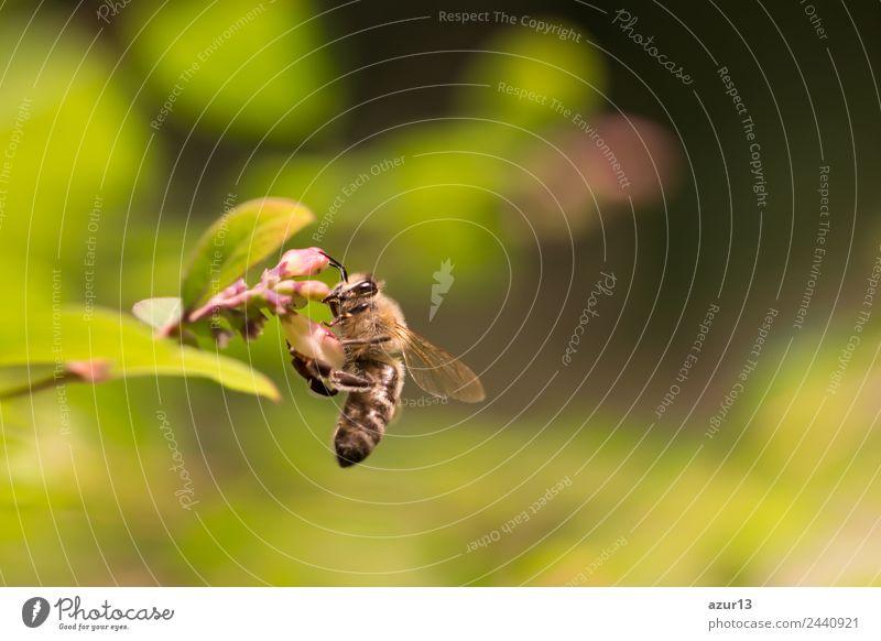 Makro Honig Biene sammelt gelbe Pollen auf Blüte in der Natur Sommer Sonne Umwelt Pflanze Tier Sonnenlicht Frühling Herbst Klima Klimawandel Wetter