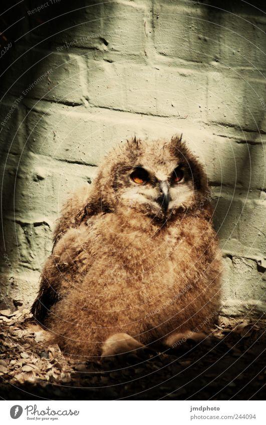 eule Natur ruhig Tier Einsamkeit Zufriedenheit Vogel Tierjunges sitzen warten wild Wildtier Flügel Feder beobachten Neugier Fell