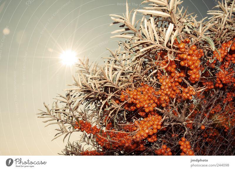 sanddorn Natur Pflanze Sonne Freude Ferien & Urlaub & Reisen Erholung Umwelt Landschaft Glück Küste orange Frucht glänzend Fröhlichkeit natürlich Sträucher