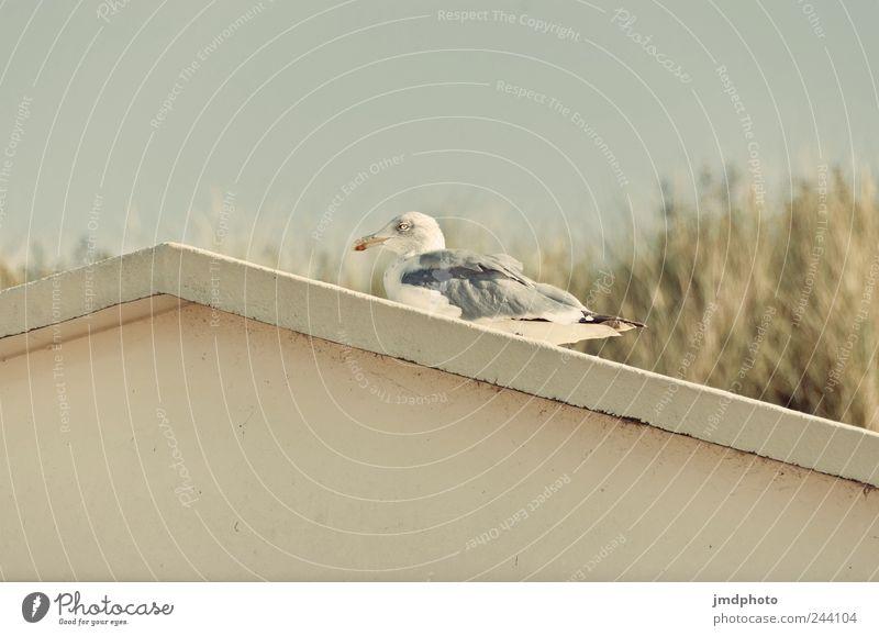 möwe Natur Pflanze Ferien & Urlaub & Reisen Meer ruhig Tier Haus Umwelt Gras Küste Vogel sitzen Ausflug liegen frei Fröhlichkeit