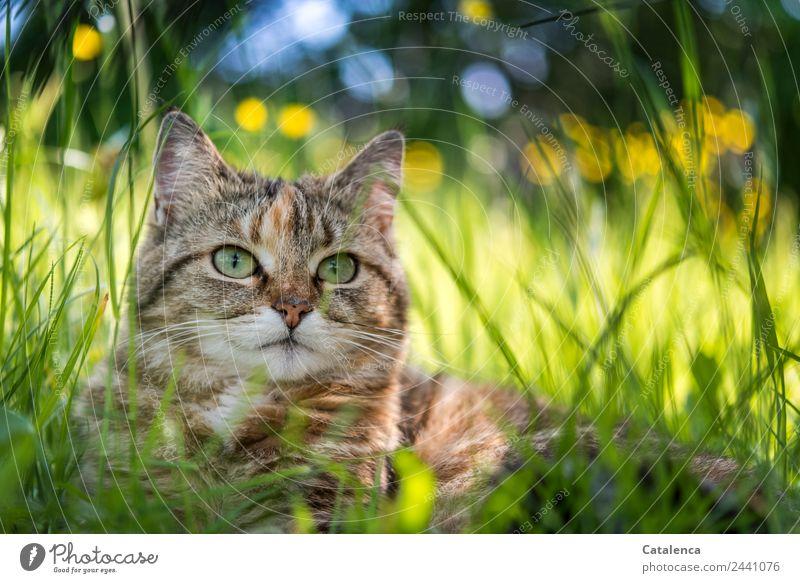 Kätzchen im hohen Gras Natur Pflanze Tier Sommer Schönes Wetter Blume Blatt Blüte Sumpf-Dotterblumen Garten Wiese Haustier Katze 1 beobachten liegen schön blau