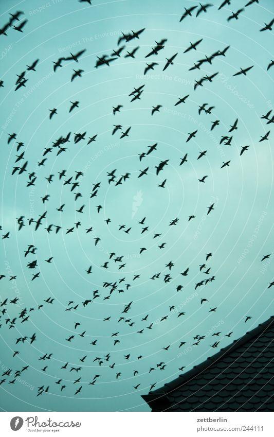 Vögel Umwelt Natur Tier Luft Himmel nur Himmel Wolken Herbst Klima Wind Vogel Schwarm fliegen middelhagen Oktober Zugvogel Ferien & Urlaub & Reisen Vogelschwarm