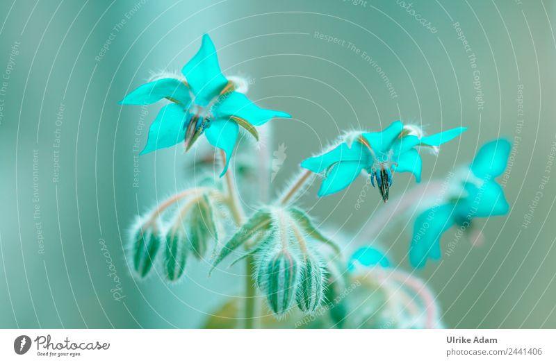 Verzaubert in Aquamarin - Borretsch Blüten Natur Sommer Pflanze Farbe grün kalt Stil außergewöhnlich Design leuchten Dekoration & Verzierung glänzend