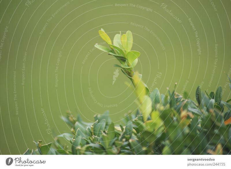 I´m still standing..... Natur grün Pflanze Sommer Blatt Garten Stimmung Kraft hoch frei Wachstum stehen einzeln Lebensfreude Hecke Grünpflanze