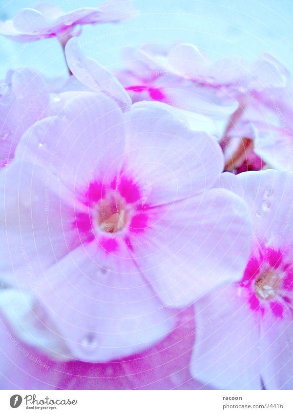 Blumen Blüte Pflanze rosa weiß Frühling Natur Flox