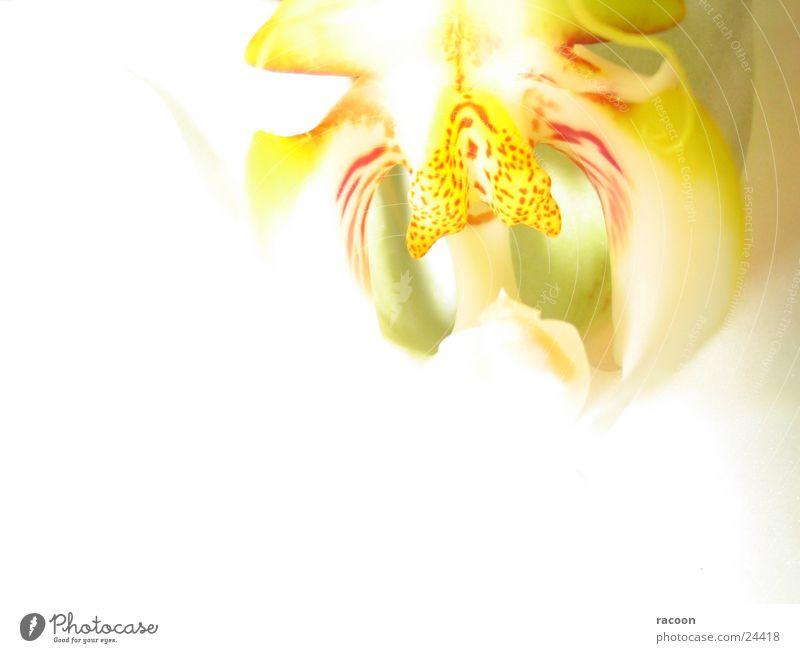 Orchidee gelb rot weiß grell Blüte Blütenstempel Nahaufnahme hell