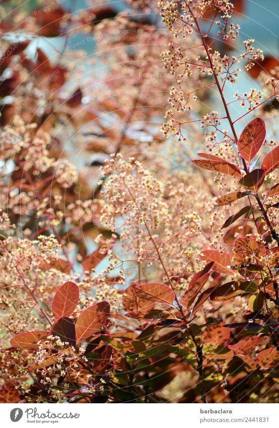 Perückenstrauch Natur Pflanze Frühling Sträucher Blatt Blüte Garten Blühend Wachstum rot ästhetisch Farbe Klima Umwelt Farbfoto Außenaufnahme Detailaufnahme