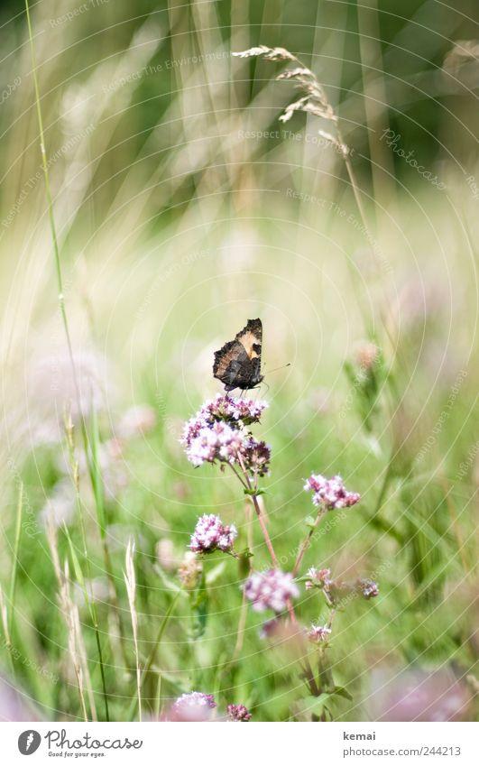 Gelandet Natur grün Pflanze Sommer Blume Tier Wiese Umwelt Gras Blüte hell rosa sitzen Wildtier Insekt Blühend