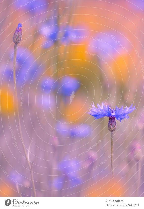 Kornblumen im Feld - Natur und Blumen Design harmonisch Wohlgefühl Zufriedenheit Erholung ruhig Meditation Spa Dekoration & Verzierung Tapete Feste & Feiern