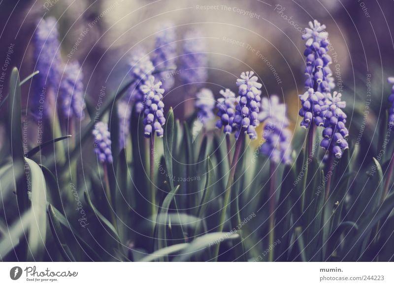 muscari. Natur grün Pflanze Garten violett Traubenhyazinthe