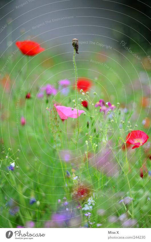 verblüht Natur Pflanze Sommer Blume Gras Blatt Blüte Garten Wiese Duft Wachstum mehrfarbig Mohn Mohnblüte Blumenwiese Wiesenblume Farbfoto Außenaufnahme